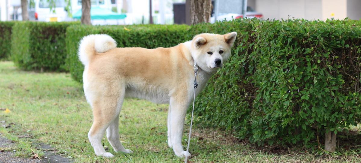 秋田犬の画像 p1_14