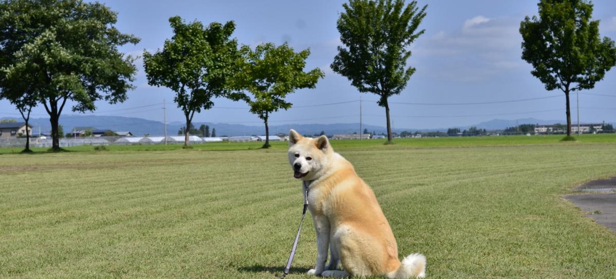 akitainusakura01