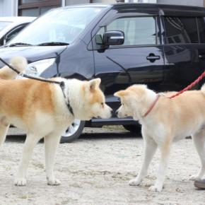 秋田犬っぽい犬