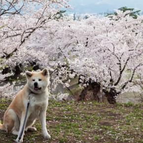 秋田の桜、満開です