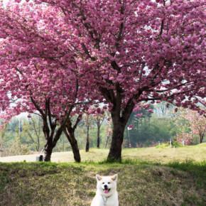 2色の桜を見に