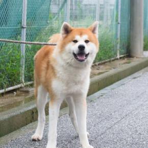 高知で秋田犬と!