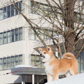 秋田犬ふく、犬っこまつり準備会場へ